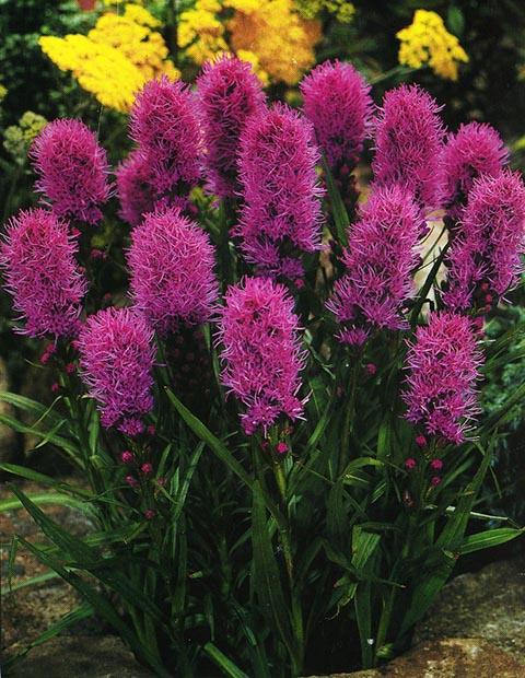 Голубые многолетники садовые цветы фото с названиями