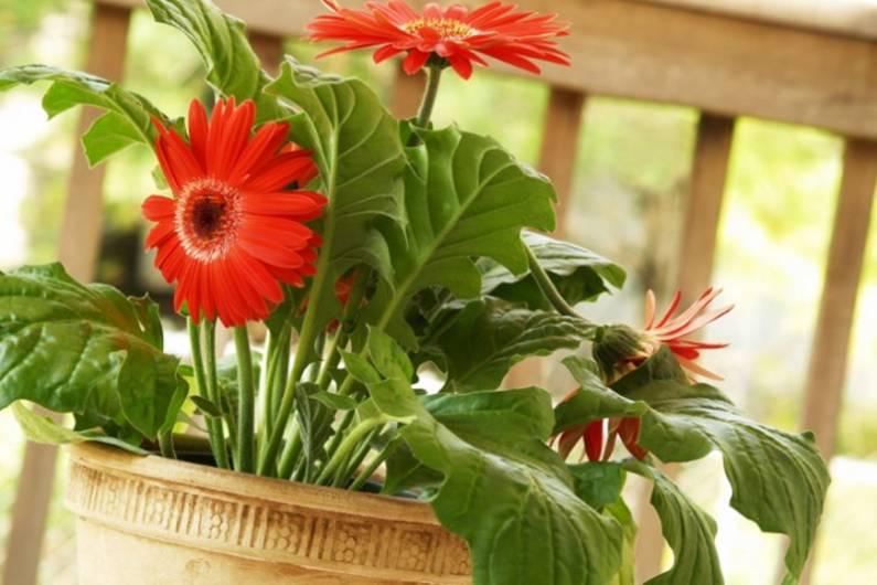 Цветок гербер уход в домашних условиях