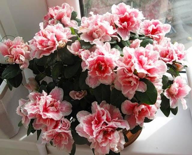 Фото цветов азалии комнатных