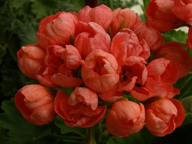 Герань тюльпановидная уход в домашних условиях